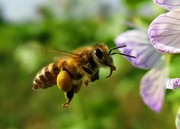 pszczola_kwiat_0.jpeg